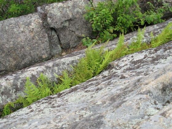 Ferns on Rockface